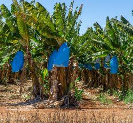 Banana Harvesting Rolls